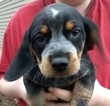 Beagle Puppy For Sale in IUKA, Illinois,
