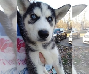 Siberian Husky Puppy for Sale in SPENCER, Tennessee USA