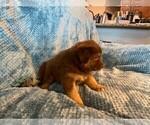 Puppy 9 Sheprador