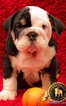 Bulldog Puppy For Sale in SPRING HILL, FL, USA