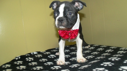 boston terrier for sale nj view ad boston terrier puppy for sale new jersey paterson 4365