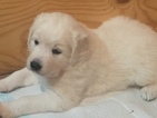 Slovakian Kuvac Puppy For Sale in NEVADA, TX
