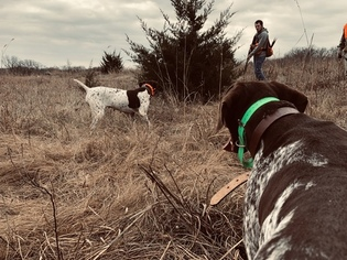 Father of the German Shorthaired Pointer puppies born on 01/18/2019