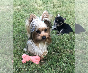 Mother of the Yorkshire Terrier puppies born on 10/24/2020