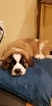 Saint Bernard Puppy For Sale in LIVONIA, MI, USA