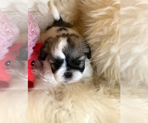 Shih Tzu-Zuchon Mix Puppy for Sale in MOUNT VERNON, Iowa USA