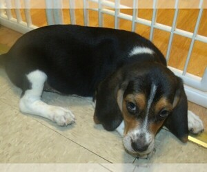 Beagle Puppy for sale in PATERSON, NJ, USA