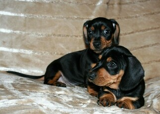 Dachshund Puppy for sale in LAKESIDE, CA, USA