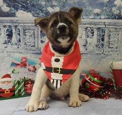 Akita Puppy For Sale in CHICAGO, IL