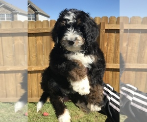 Bernedoodle Puppy for Sale in MOORE, South Carolina USA