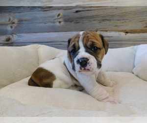Beabull Puppy for sale in SULLIVAN, OH, USA