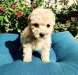 Maltese-Maltipoo Mix Puppy For Sale in LOS ANGELES, CA, USA