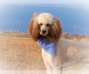 Father of the Bordoodle-Poodle (Standard) Mix puppies born on 03/09/2021
