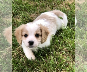 Cavachon Puppy for sale in SILEX, MO, USA