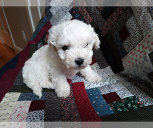 Bichon Frise Puppy for Sale in PELHAM, New Hampshire USA