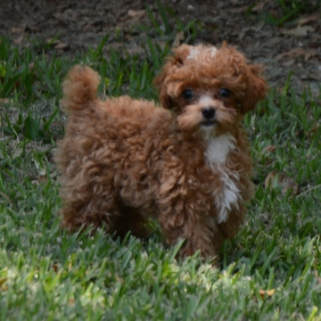 View Ad: Poodle (Toy) Puppy for Sale near South Carolina ...