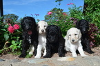 Poodle (Standard) Puppy For Sale in KELLER, TX,