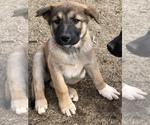 Small #4 German Shepherd Dog-Siberian Husky Mix