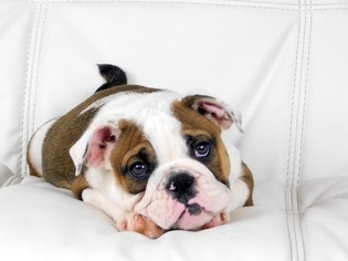 Bulldog Puppy For Sale in PORT SAINT LUCIE, FL
