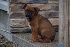 Boxweiler Puppy For Sale in FREDERICKSBURG, OH, USA