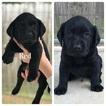 Labrador Retriever Puppy For Sale in ANGLETON, TX, USA