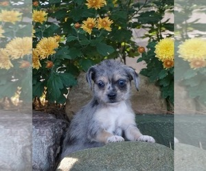 Chiweenie-Yorkiepoo Mix Puppy for Sale in NAPPANEE, Indiana USA