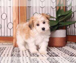 Havanese Puppy for sale in NAPLES, FL, USA