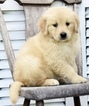 Beautiful Golden Retriever puppies AKC certified