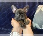 Super Cute Male French Bulldog Puppy