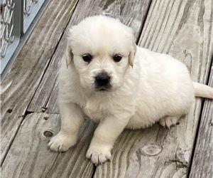 Golden Retriever Puppy for sale in KEYSTONE HEIGHTS, FL, USA