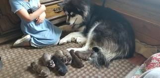 Alaskan Malamute Puppy For Sale in CLARK, WY, USA