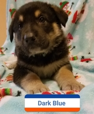 German Shepherd Dog Puppy For Sale in MADISON, FL, USA