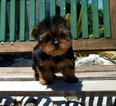 Yorkshire Terrier Puppy For Sale in LOS ANGELES, CA,