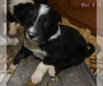 Puppy 4 Border Collie
