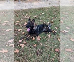 German Shepherd Dog Puppy for Sale in BURLINGTON, Connecticut USA