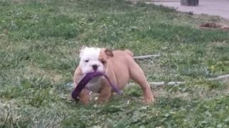 Bulldog Puppy for sale in ONTARIO, CA, USA