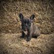 French Bulldog Puppy For Sale near 65657, Garrison, MO, USA