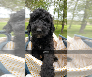 Goldendoodle Puppy for Sale in COOPER, Texas USA