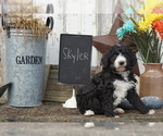 Small Photo #2 Bernedoodle Puppy For Sale in DUNDEE, OH, USA
