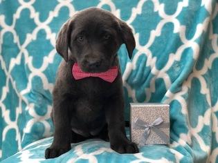Labrador Retriever Dog for Adoption in CEDAR LANE, Pennsylvania USA
