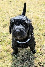 Goldendoodle Puppy For Sale in ROSCOE, IL