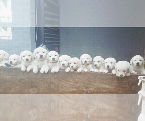 English Cream Golden Retriever Puppy for sale in KINGSBURY, TX, USA