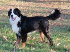 Bernese Mountain Poo Puppy For Sale in HOPKINSVILLE, KY, USA