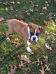 Boxer Puppy For Sale in HILLSVILLE, VA, USA