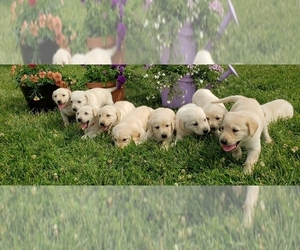Labrador Retriever Puppy for Sale in HINDSBORO, Illinois USA