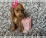 Small #1 Labradoodle-Poodle (Miniature) Mix