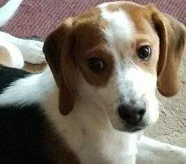 View Ad Beagle Puppy For Sale Near Michigan New Baltimore Usa