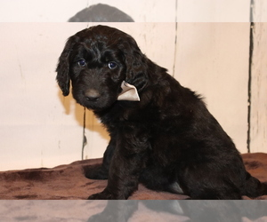 Goldendoodle Puppy for Sale in PROVO, Utah USA