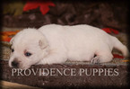 West Highland White Terrier Puppy For Sale in COPPOCK, IA, USA