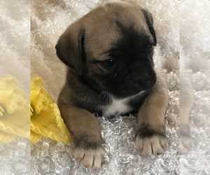 Jug Puppy for sale in GRAND JCT, CO, USA